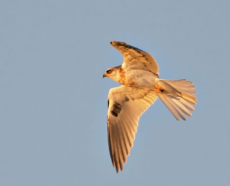 White-tailed Kite, juvenile, at sunset