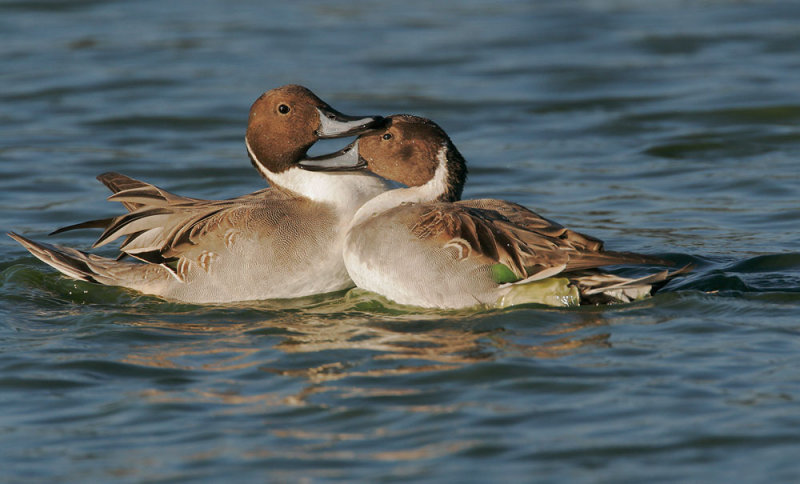 Northern Pintails, males fighting 4
