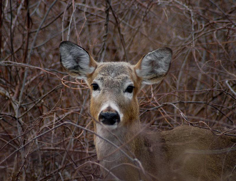 sachuest deer 36