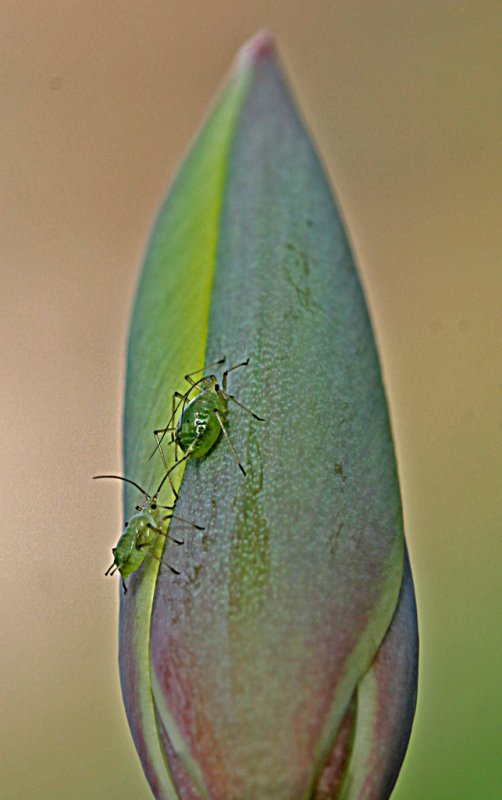 greenfly.jpg