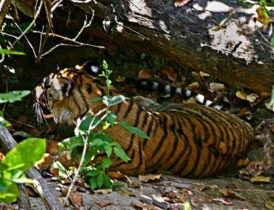 tiger 16.jpg
