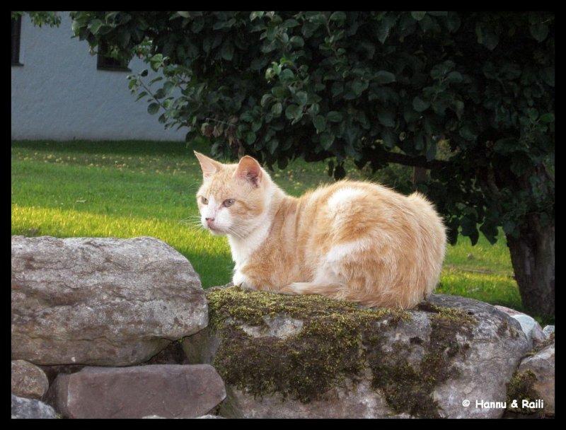 IMG_3476 Katt på stenmur.jpg