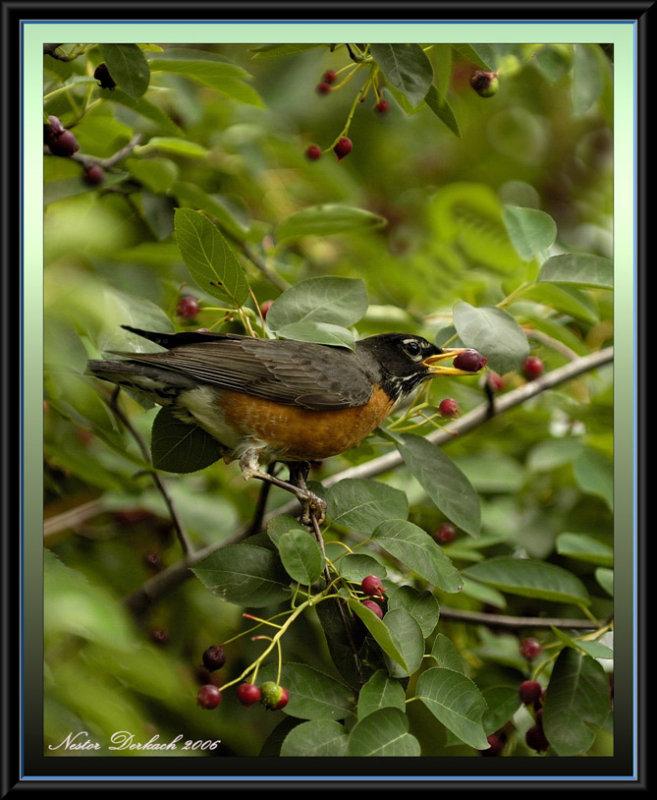 Robin Enjoying  A Serviceberry