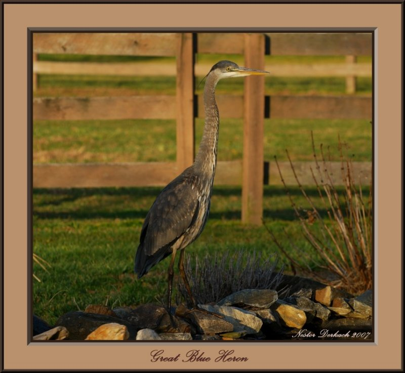 Great Blue Heron In The Morning Light  .