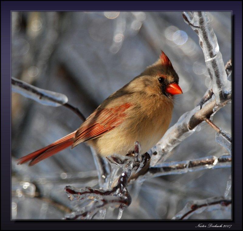 Female Cardinal Chilling