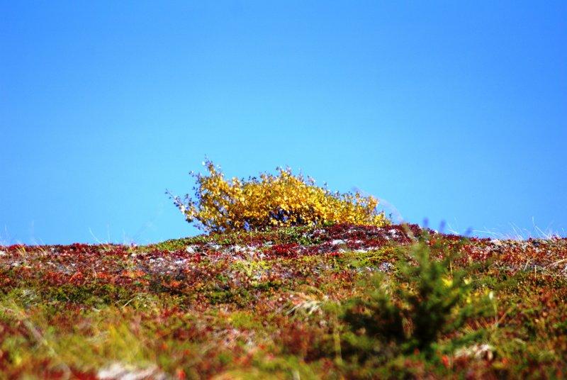 The yellow tree is dwarf birch