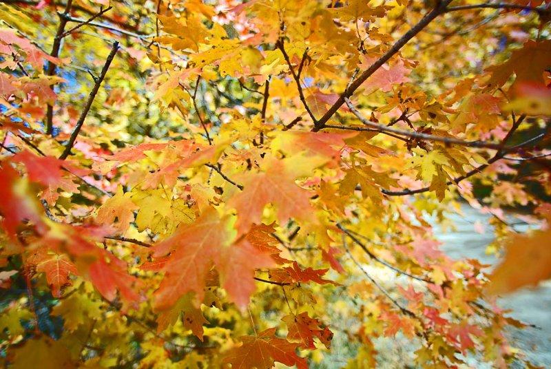 Utah Scrub Oak