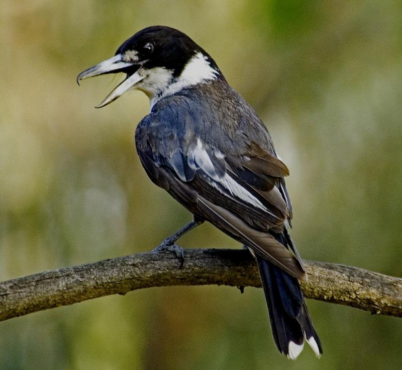 Butcher Bird.jpg