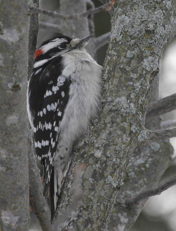 Downey Woodpecker-Male