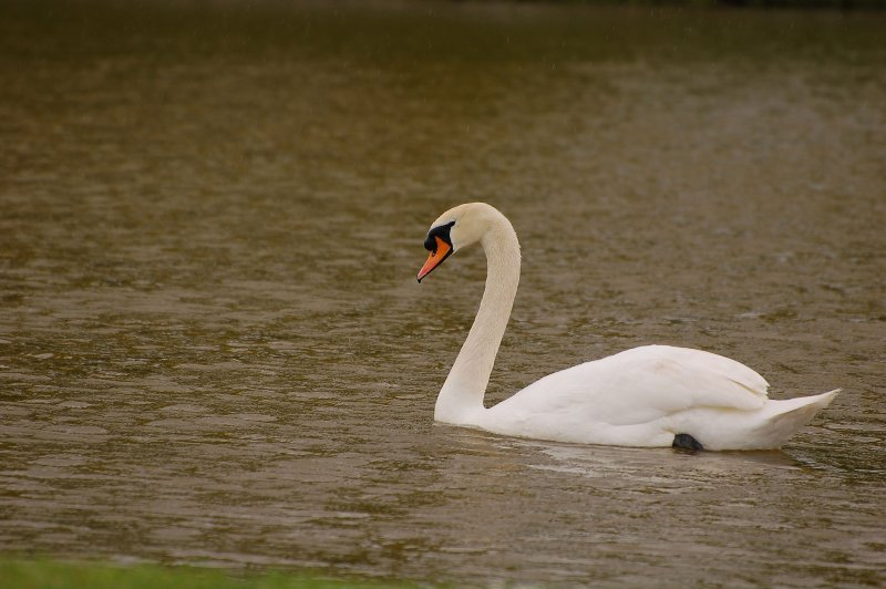 Swan in the rain.jpg