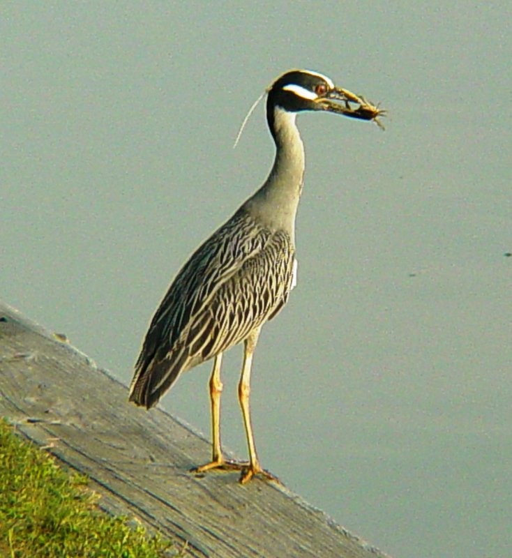 6127 Yellow-Crowned Night Heron with catch of the day.JPG