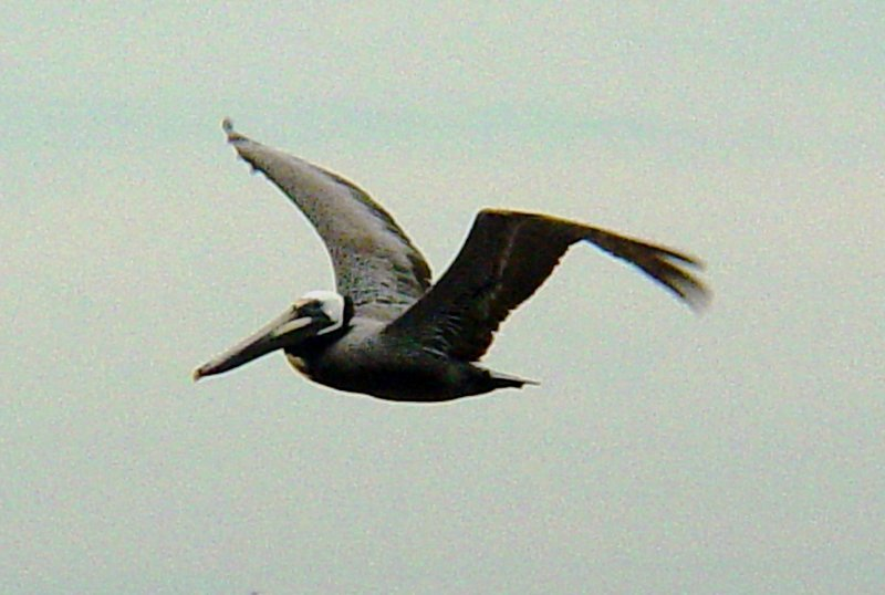 5922 Brown Pelican Flight.JPG