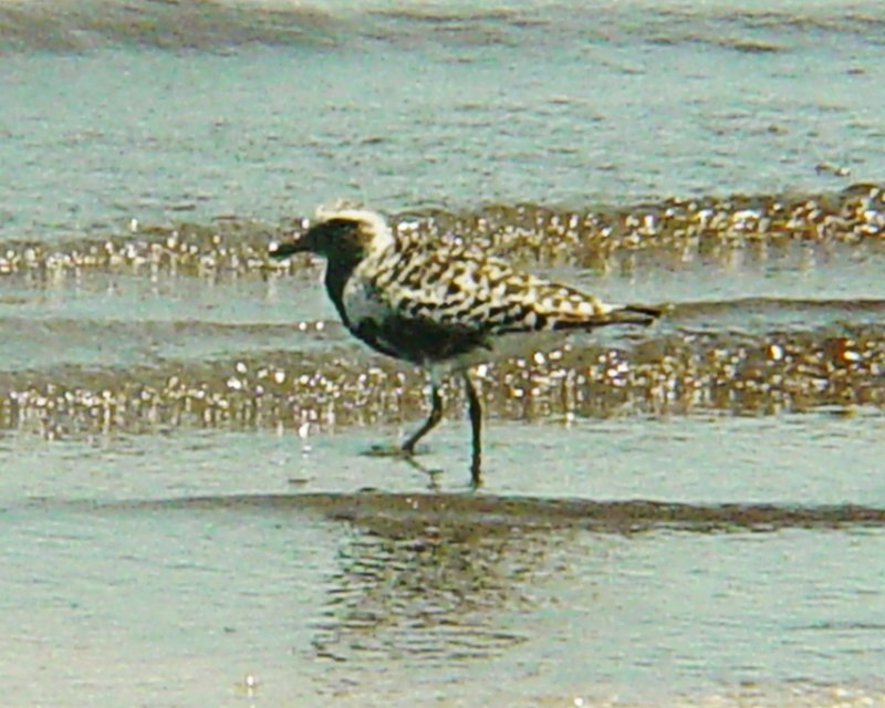 6207 Black-Bellied Plover.JPG