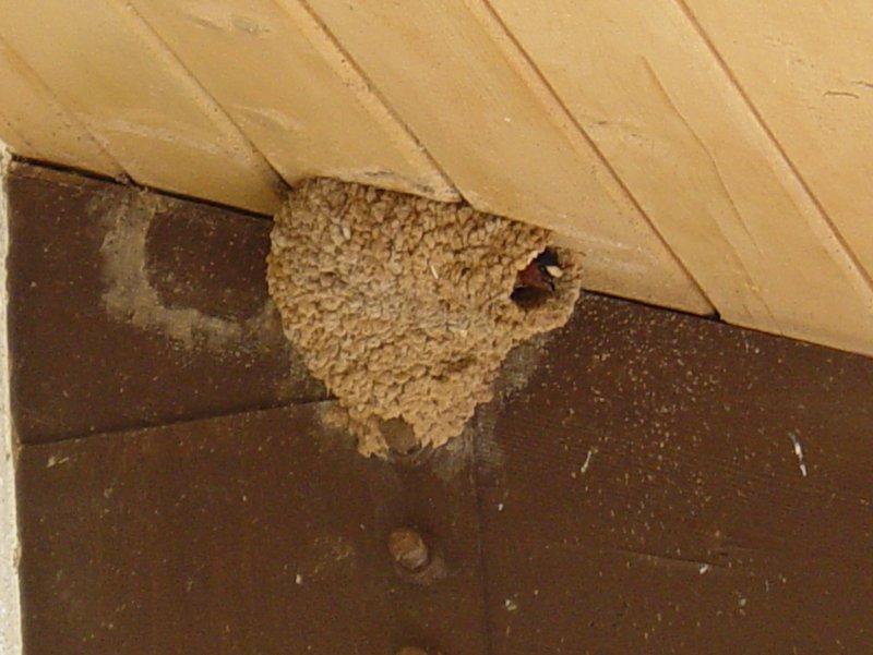 6939 Cliff Swallow Nest Curacanti.JPG