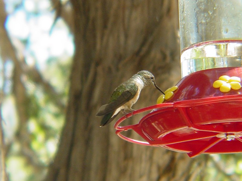 7286 Broad-tailed Hummingbird Bx Can.JPG