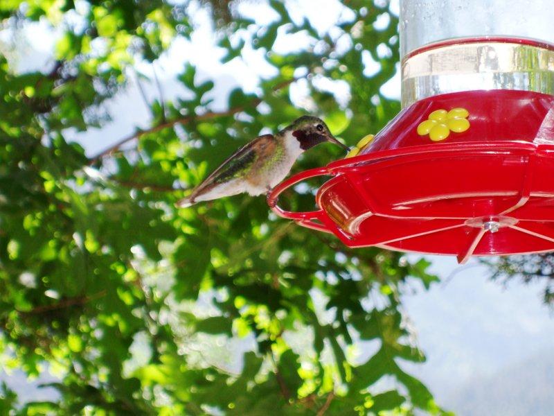 F1300 Broad-tailed Hummingbird.JPG