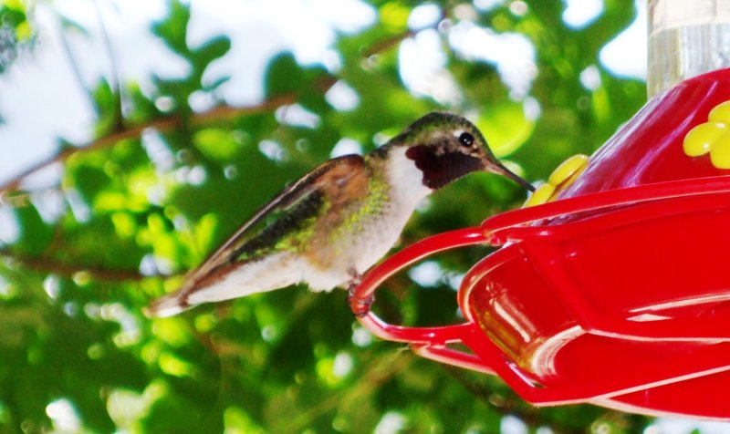 F1300 Broad-tailed Hummingbird upclose.JPG