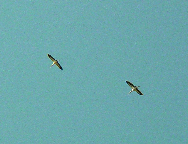 8551 Pair of WStorks in Flight.JPG