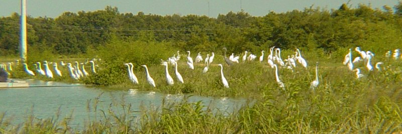 8574 Grt Egrets Pond side.JPG