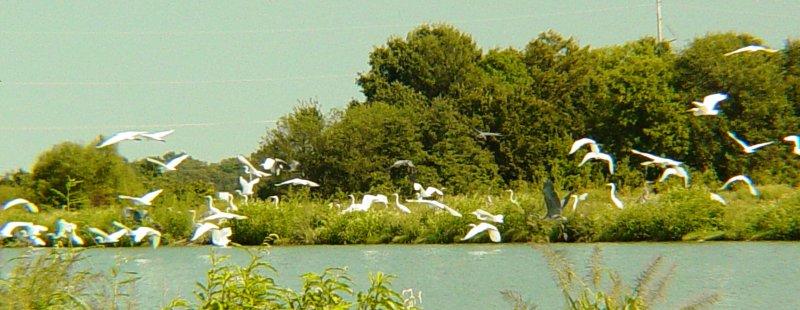 8576 Grt Egrets in Flight.JPG