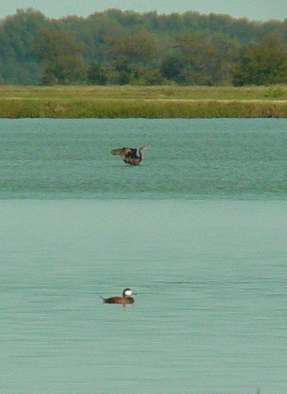 8592 Ruddy Duck and DC Cormorant.JPG