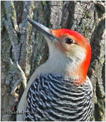 Red-bellied Woodpecker-Male