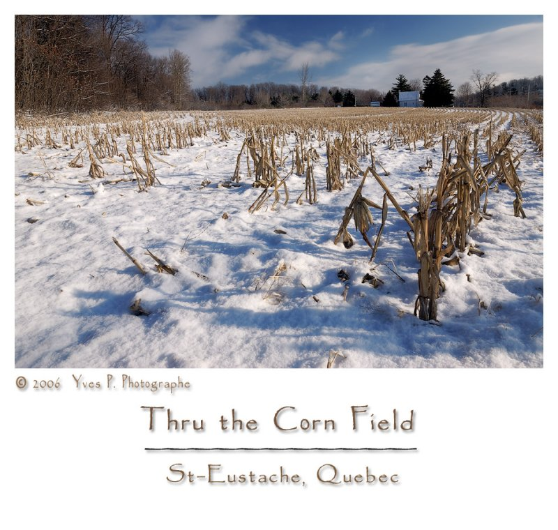 Thru the Corn Field