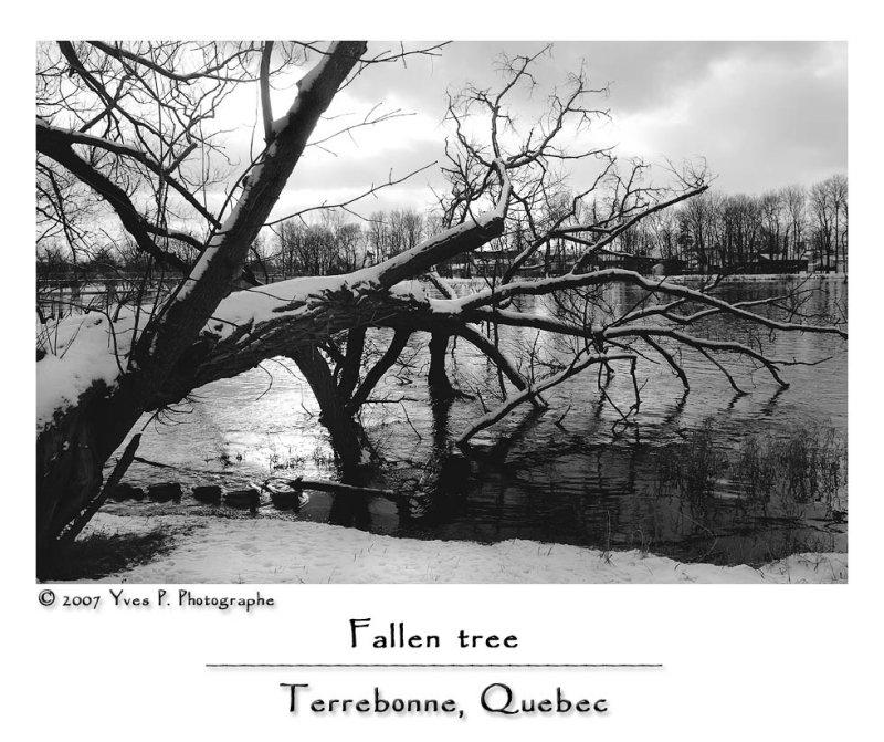 Fallen tree ...