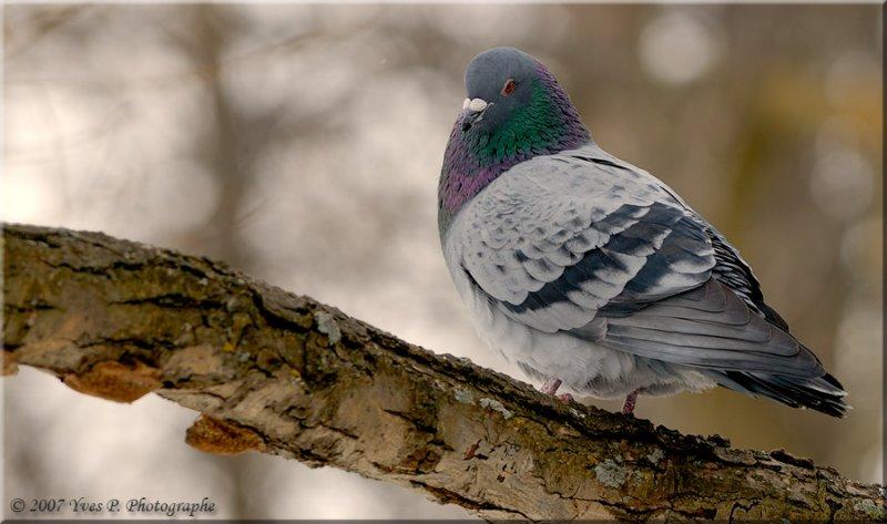 Spot the Pigeon ...
