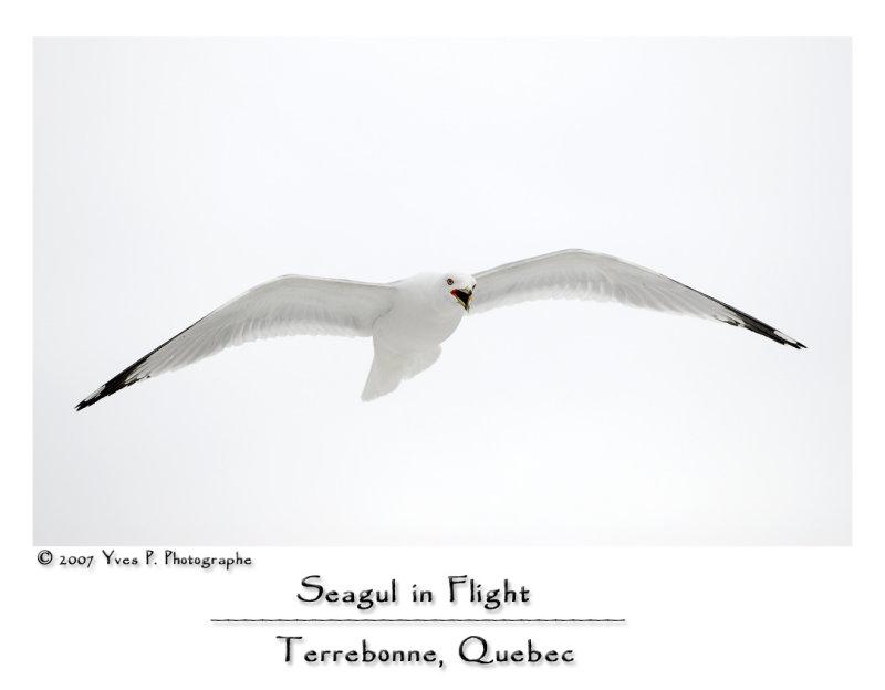 Seagul in Flight ...