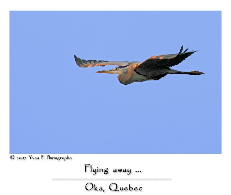 Great Blue Heron in flight ...