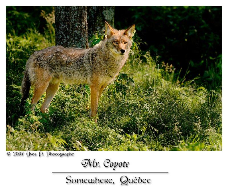 Monsieur le Coyote ...