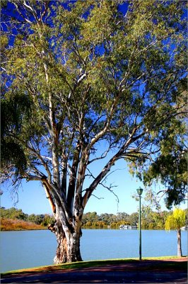 A young river red gum on the banks of the Murray