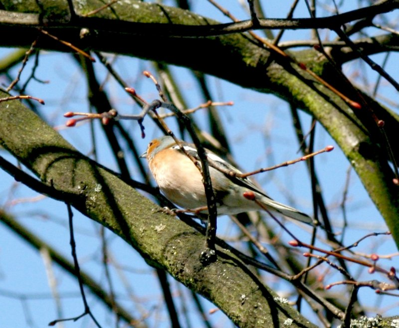 A Chaffinch, very rare in London now.