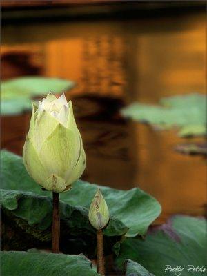 The Blooming Lotus Bud