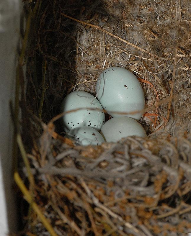 <b>House Finch Eggs</b>
