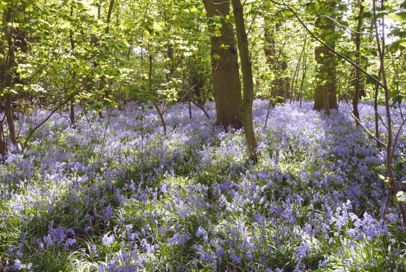 Bluebell Time Again