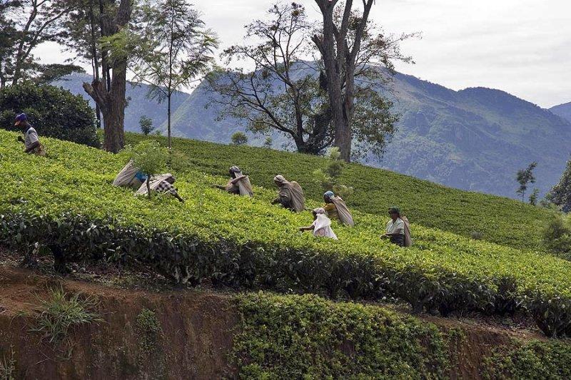 Tea near Nuwara Eliya