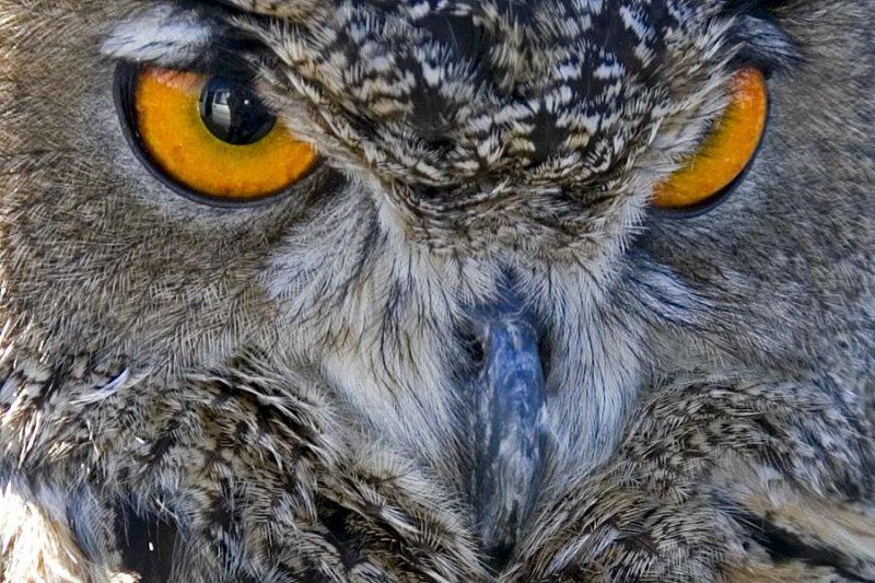Horned Owl