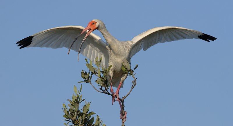 White Ibis Balance Act II