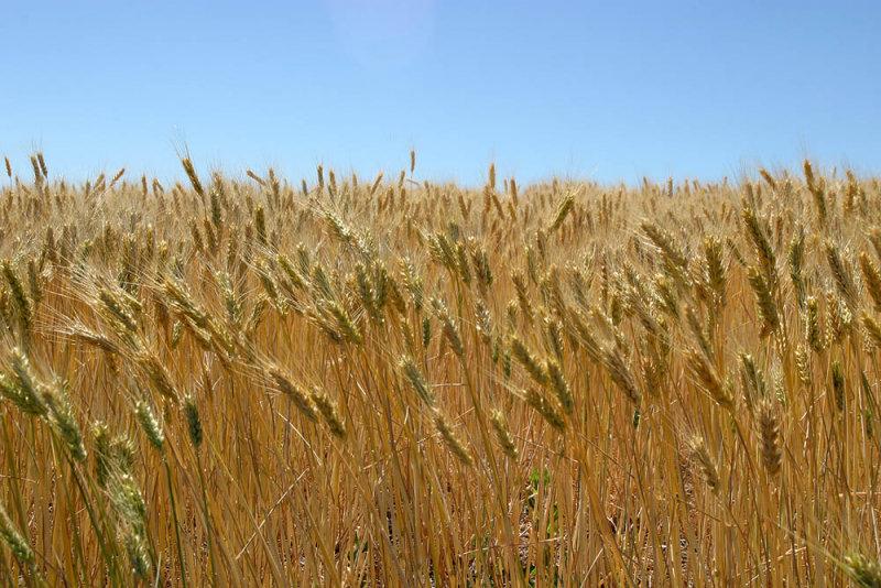 Washington Wheat