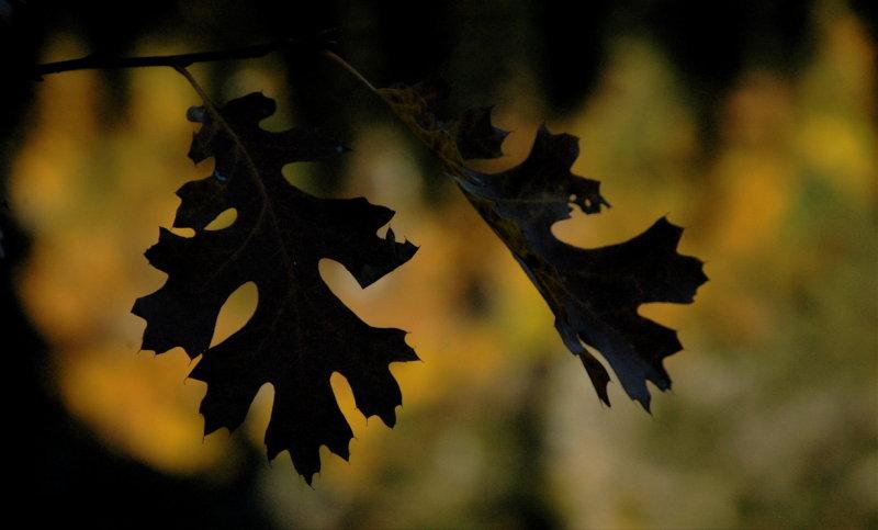 Oak Leaves Near the Stoneman Bridge