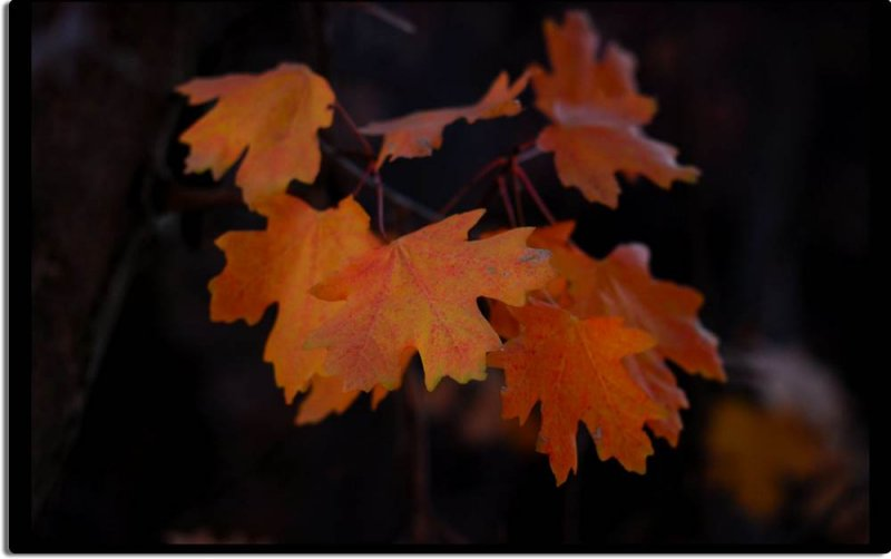 Maple Leaves in Zion Canyon