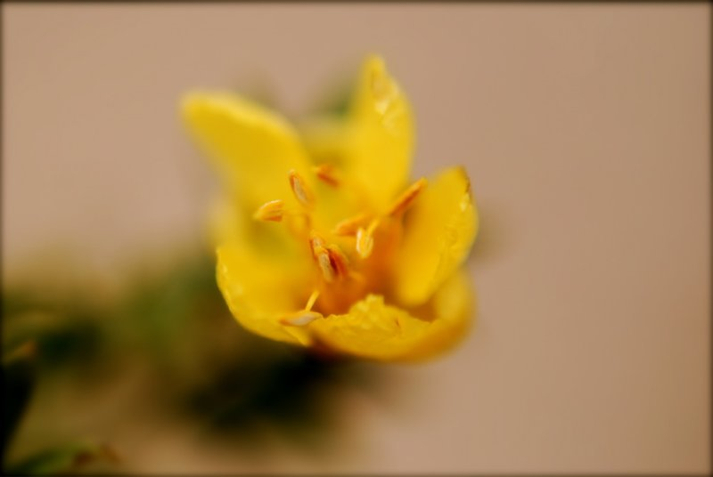 Creosote Bloom #2