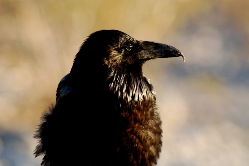 Raven Near Stovepipe Wells