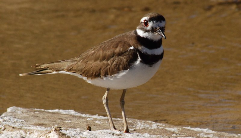 Kildeer at the Salt Creek Oasis