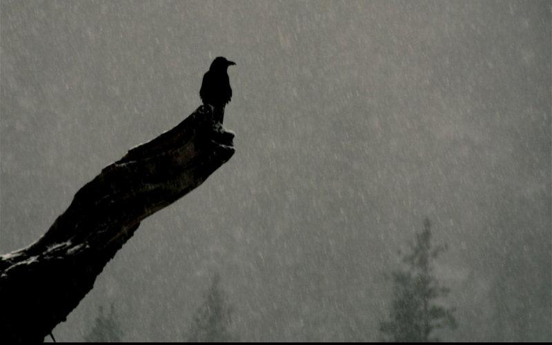Raven at El Capitan Meadow
