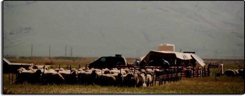 Sheep Shearing Encampment