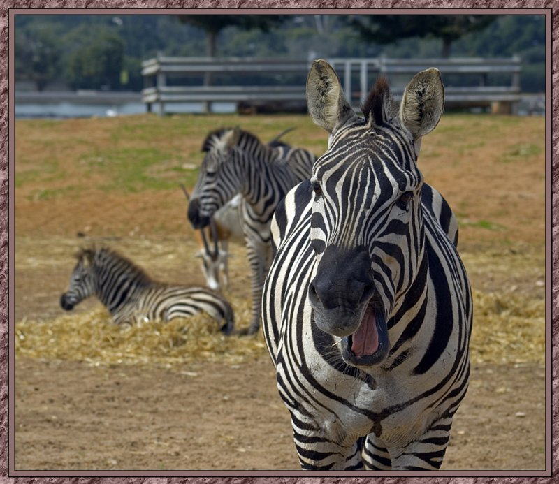 The raging zebra