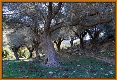 Olive trees in winter